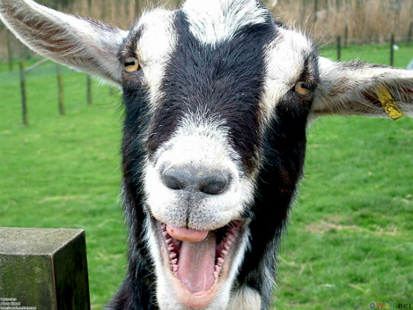 laughing-goat